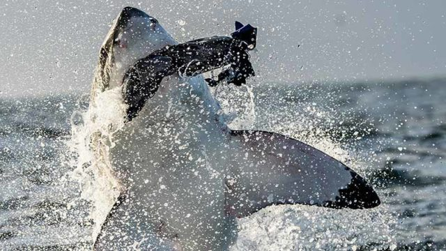 A great white breaches during an attack in South Africa. Pic: Getty