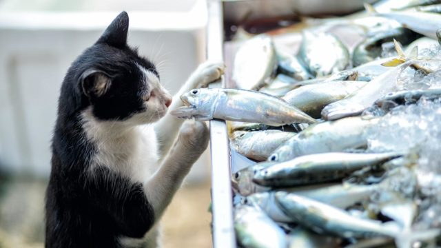 Cat stealing fish, Getty