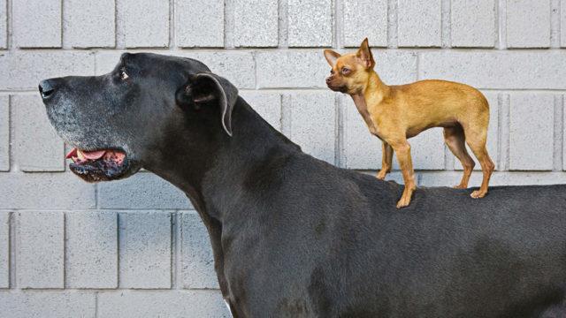 little dog standing on big dog