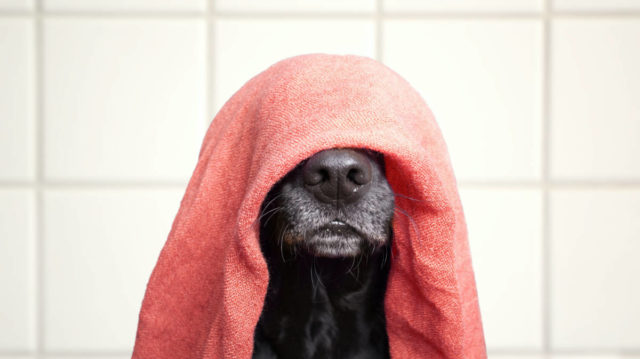 A dog with a towel on his head