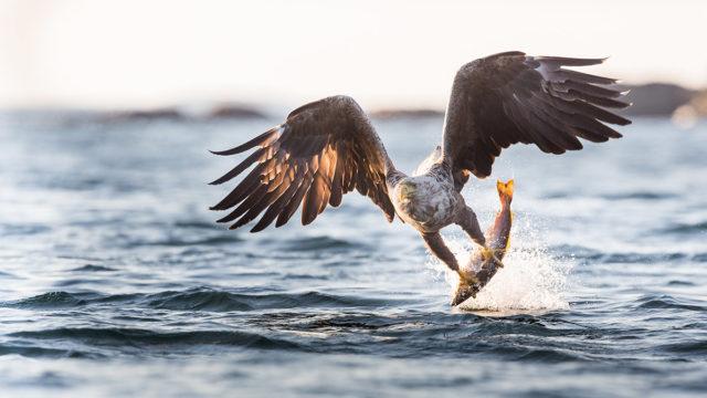 De grey mining diucon-eagle